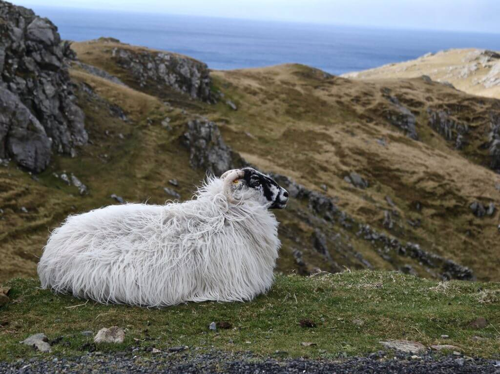 Sheep in Ireland Carol Ketelson Delectable Destinations Culinary Tours