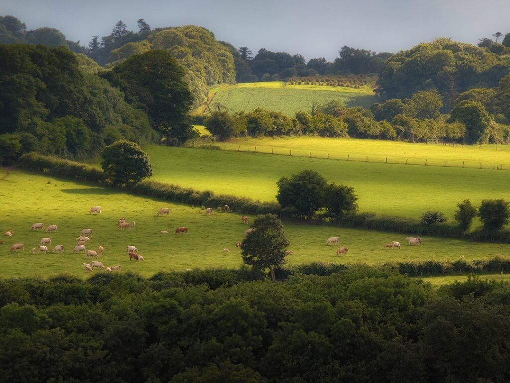 sheep grazing in green field Delectable Destinations Culinary Tour of Ireland