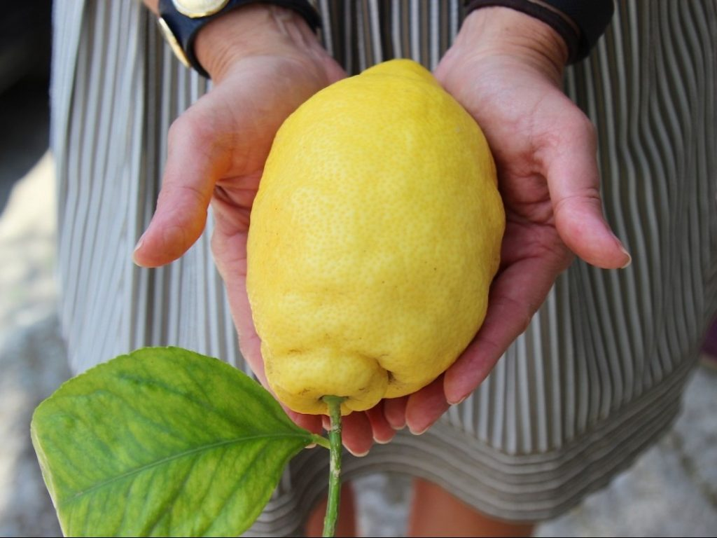 Jumbo lemon Amalfi Coast Italy Carol Ketelson Delectable Destinations Culinary Tours