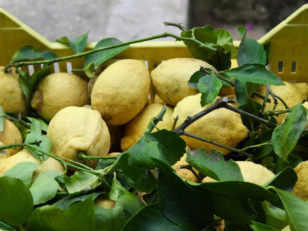 Lemon picking Mamma Agata Cooking School Amalfi Coast Italy Carol Ketelson Delectable Destinations Culinary Tours