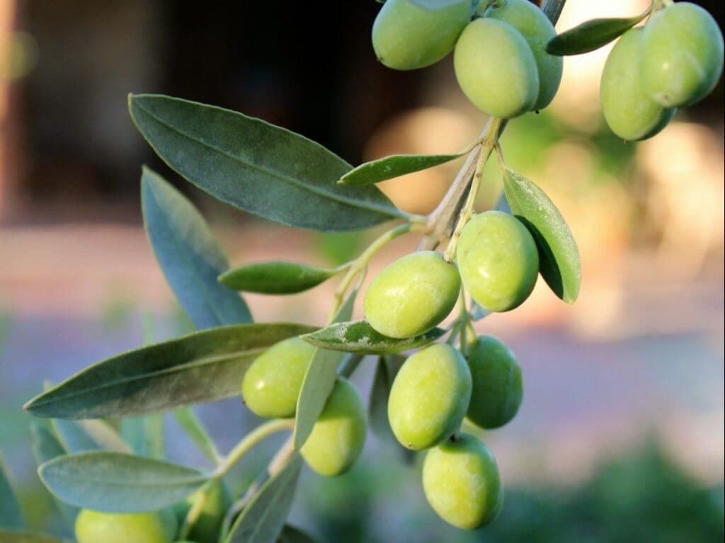 olives Tuscany Italy Carol Ketelson Delectable Destinations Culinary Tours