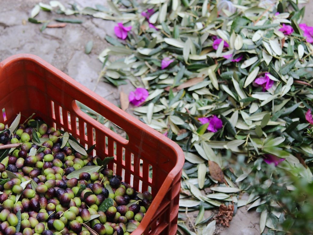 olive picking Puglia Italy Carol Ketelson Delectable Destinations Culinary Tours