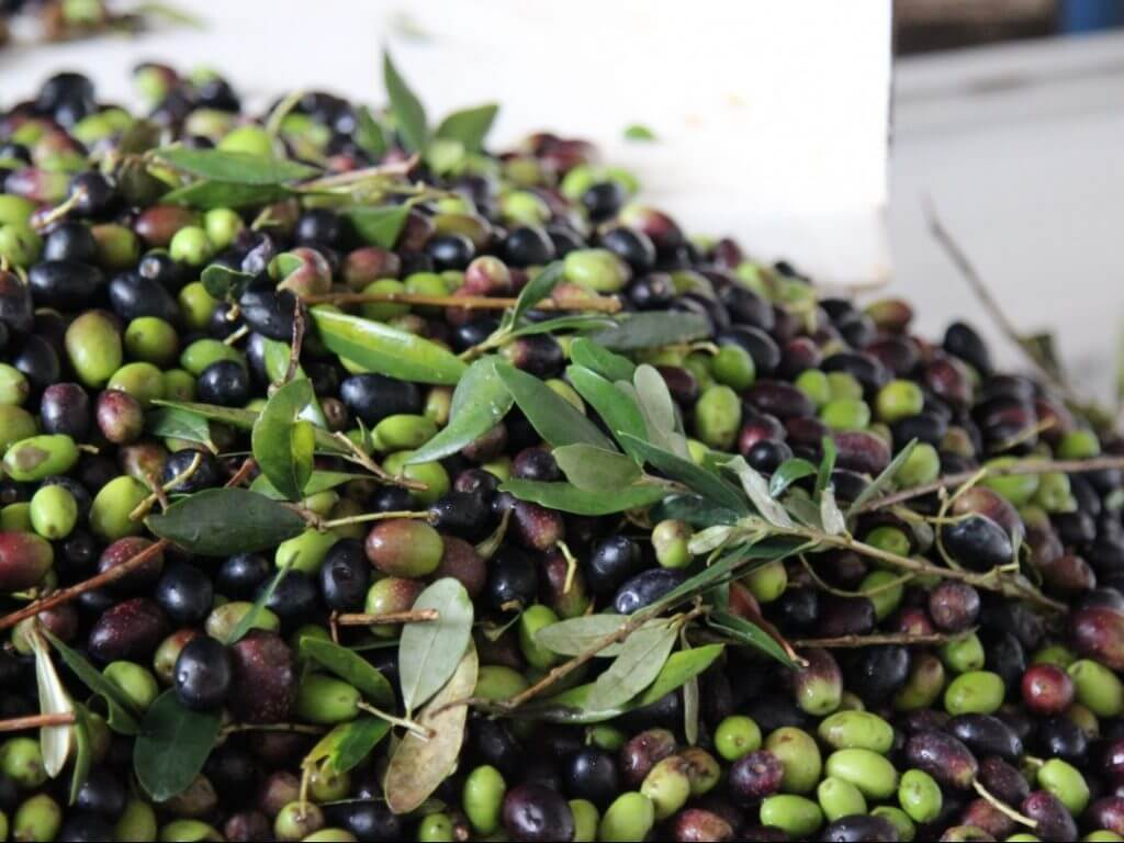 olives Puglia Italy Carol Ketelson Delectable Destinations Culinary Tours