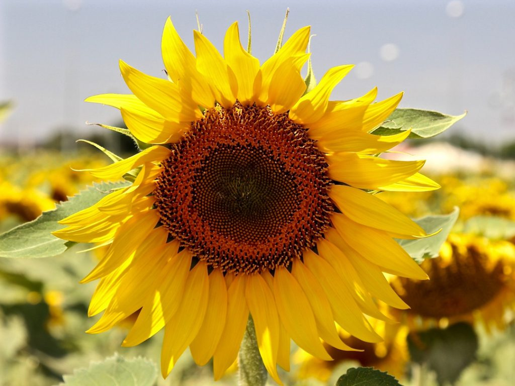 Sunflower Andalucia Spain Carol Ketelson Delectable Destinations Culinary Tours