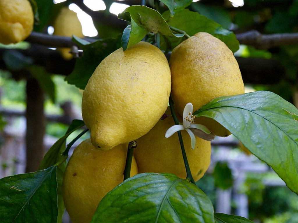 Amalfi Coast Lemons ItalyCarol Ketelson Delectable Destinations Culinary Tours