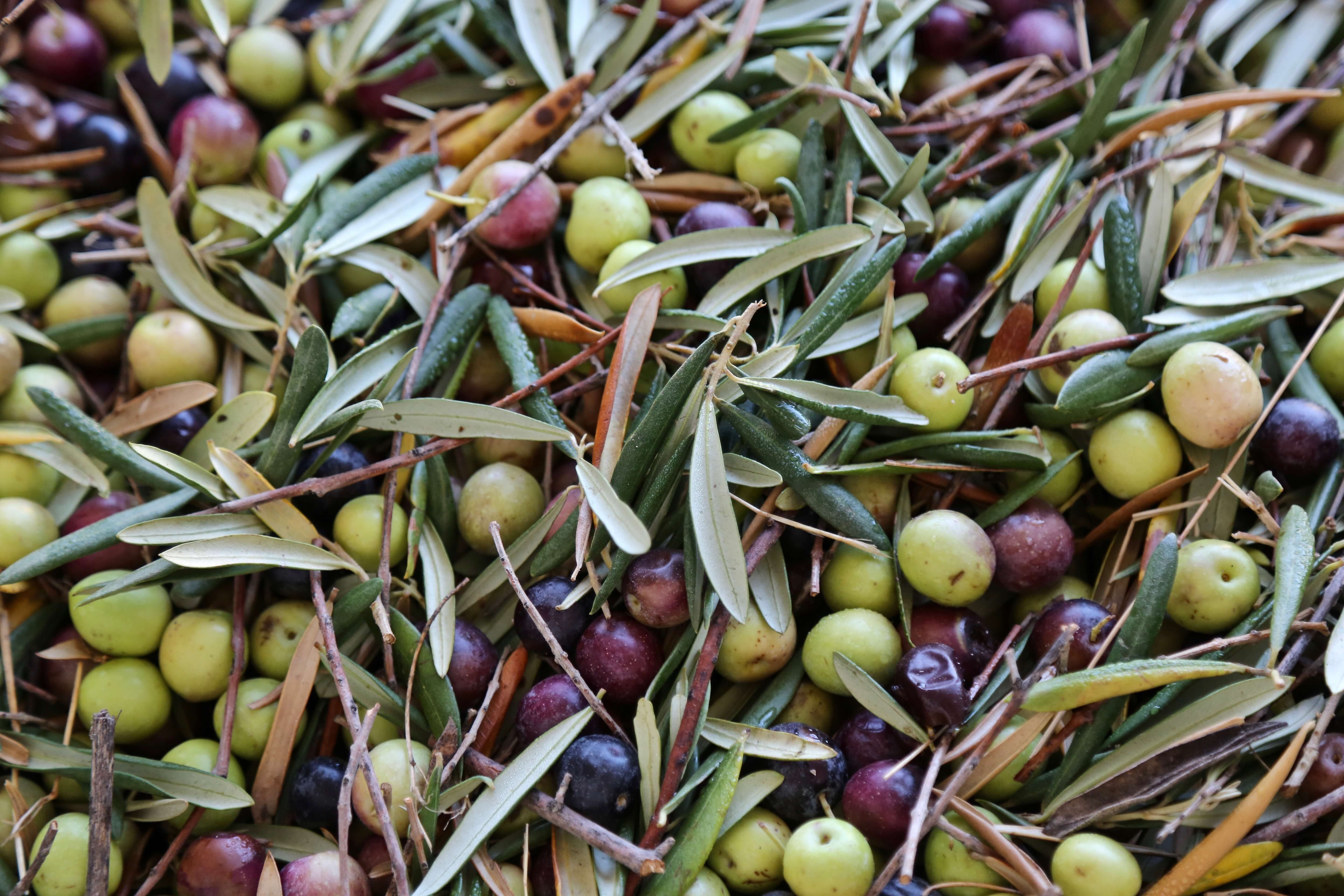 Olive harvest - Why Spain Should be Your Next Culinary Destination, Delectable Destinations, Carol Ketelson